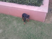 rott male for sale near  sangrur bhawanigarh on rs 10000
