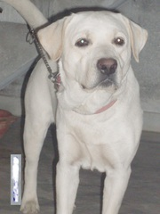 Labrador Retriever (white) for sale