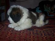 show quality saint puppies for sale