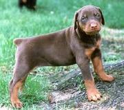brown female doberman needed