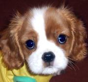 KING CHARLES SPANIEL Puppies  For Sale  ® 9911293906