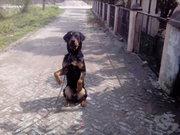 sonu dog training &day boarding&sale purchace center ludhiana