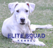 Dogo Argentino Show quality Female Puppy for SALE - Ludhiana - Punjab