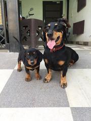 Black tan dacshunds pups for sale